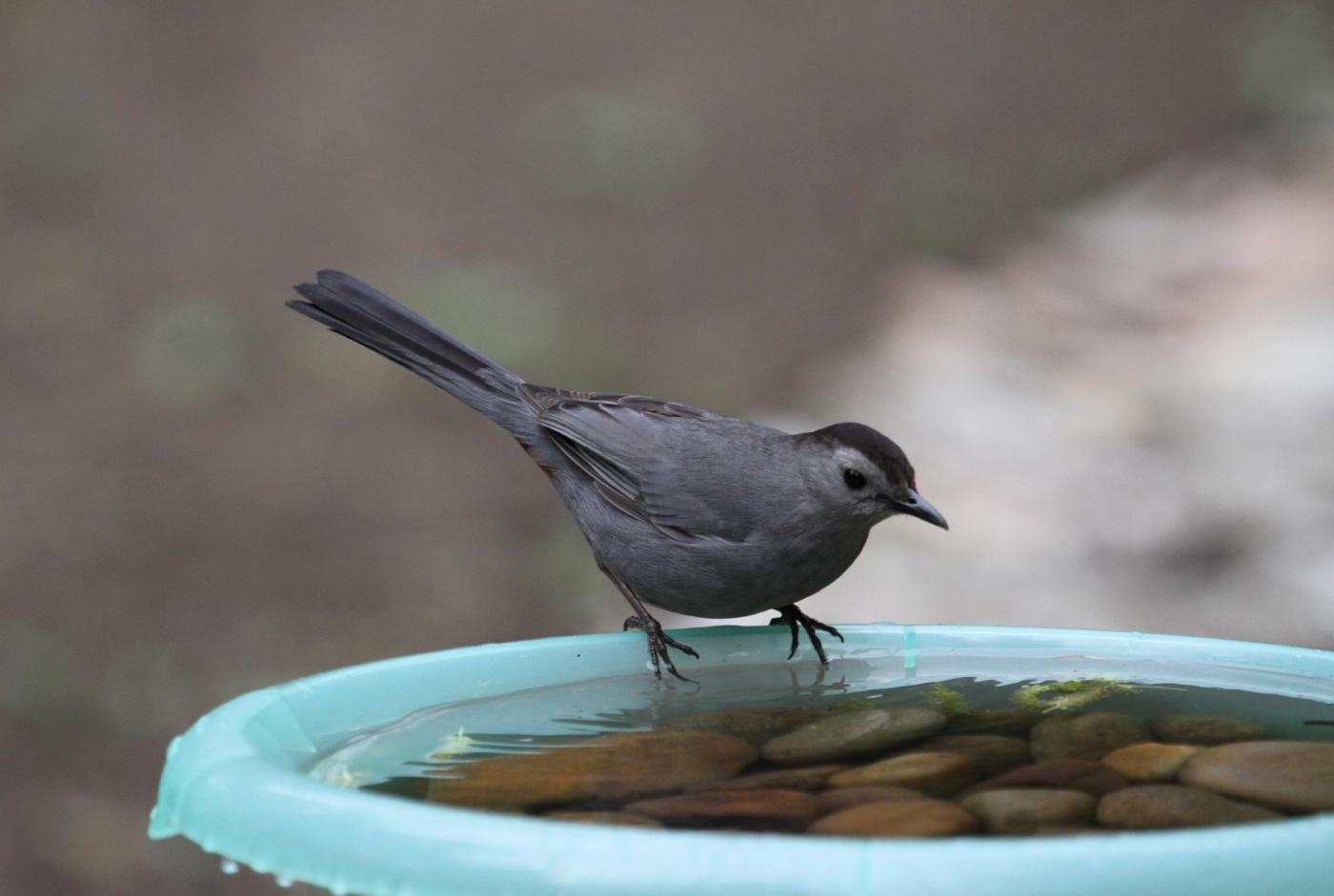 【田螺摄影】摆盆水在后院猫鸟就来淋浴了_图1-3