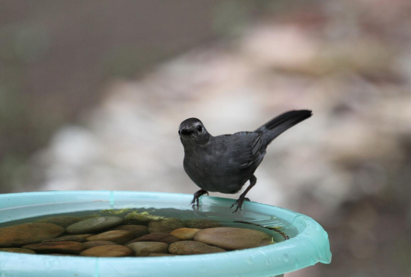 【田螺摄影】摆盆水在后院猫鸟就来淋浴了_图1-4