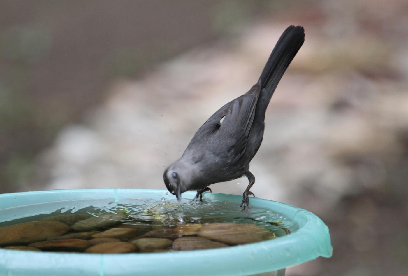 【田螺摄影】摆盆水在后院猫鸟就来淋浴了_图1-5