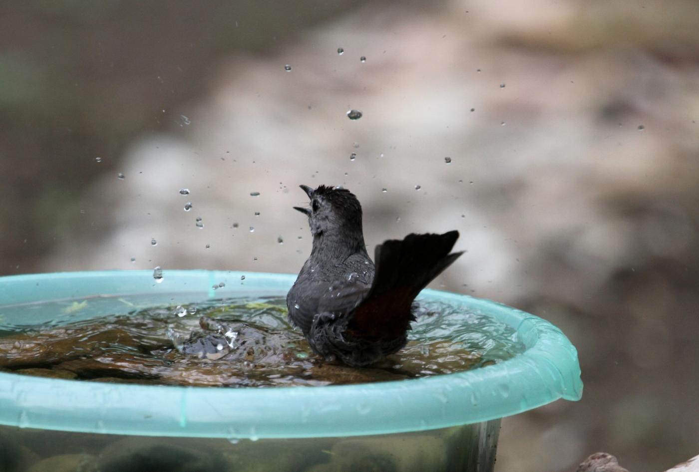 【田螺摄影】摆盆水在后院猫鸟就来淋浴了_图1-8