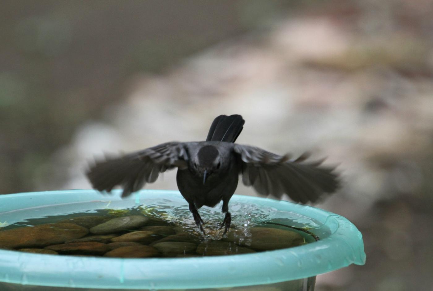 【田螺摄影】摆盆水在后院猫鸟就来淋浴了_图1-9