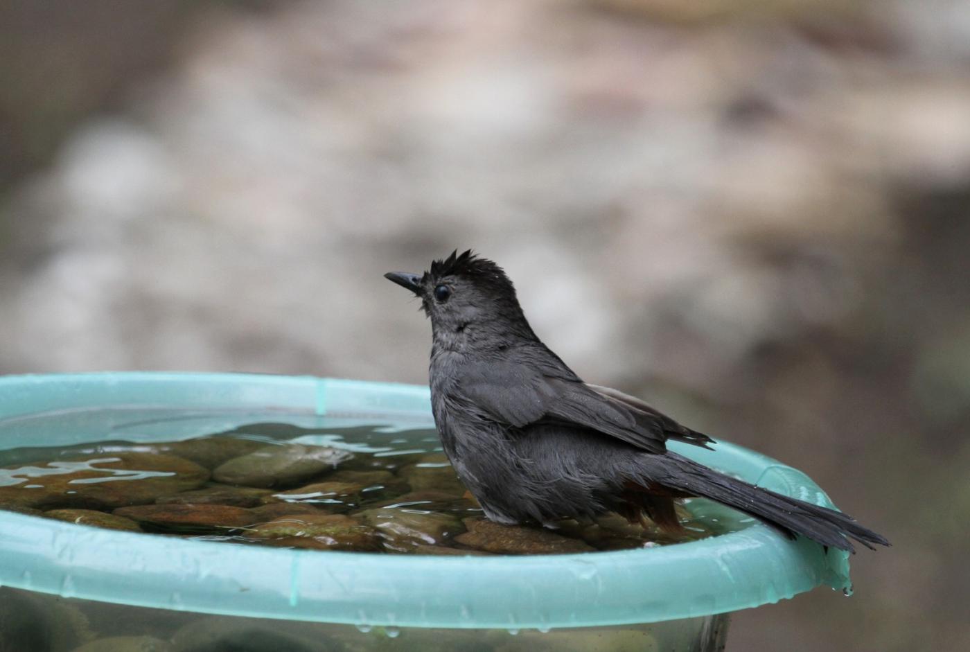 【田螺摄影】摆盆水在后院猫鸟就来淋浴了_图1-13