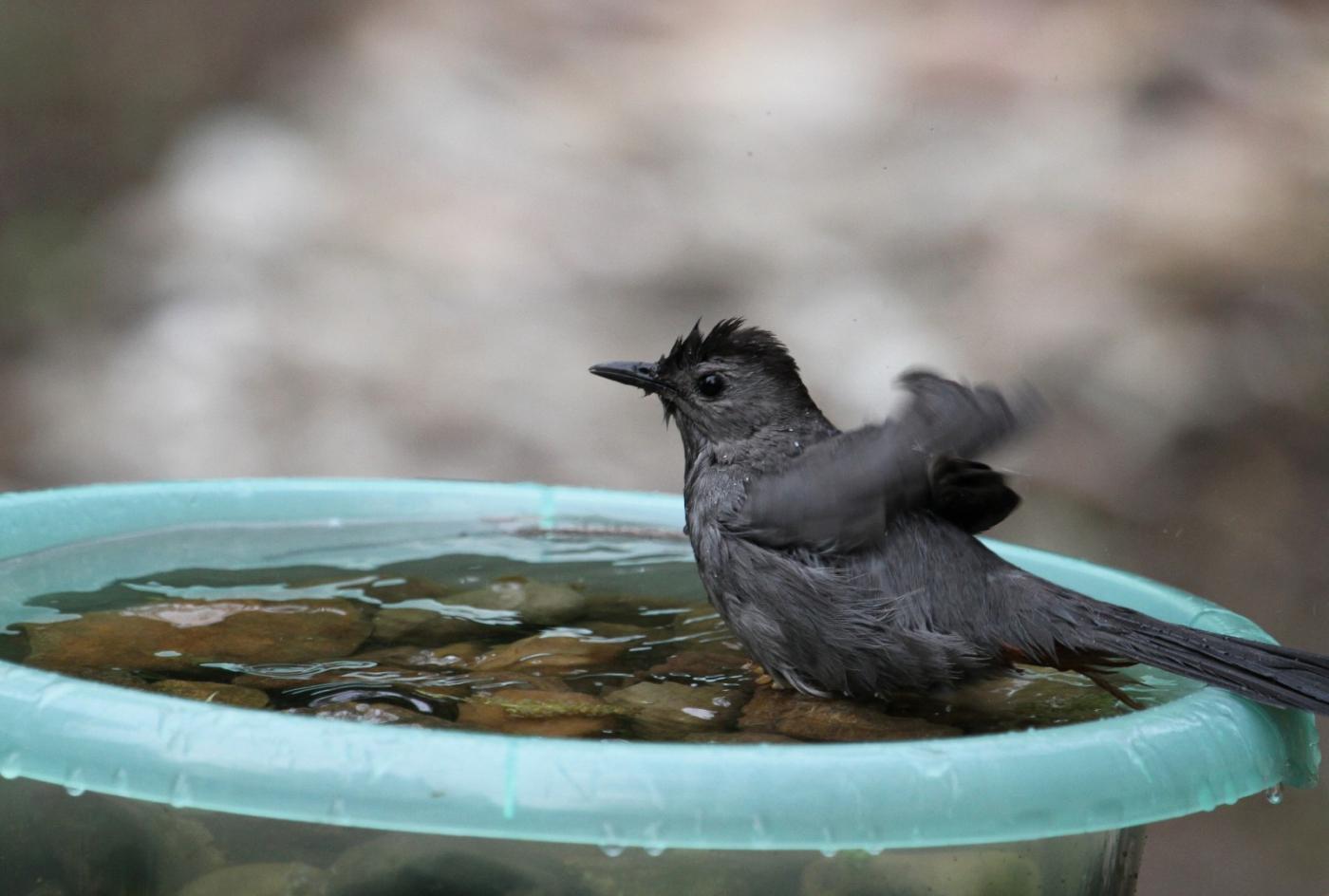 【田螺摄影】摆盆水在后院猫鸟就来淋浴了_图1-12