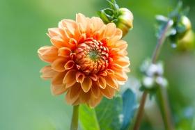 可爱的大理花