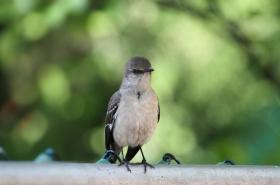 【田螺摄影】后院的嘲鸫也忙建巢