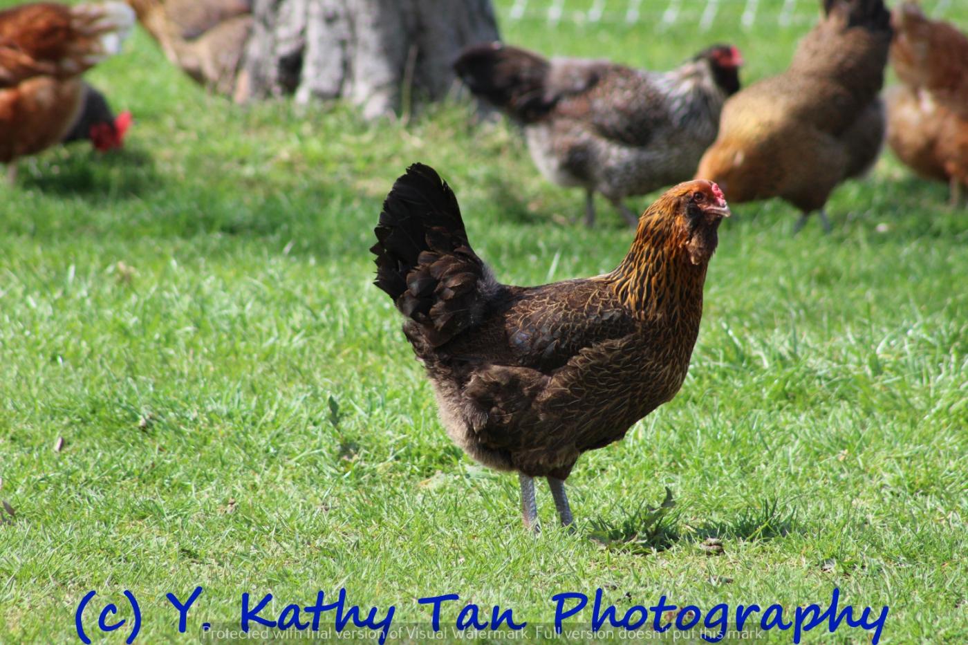 农场活鸡_图1-3