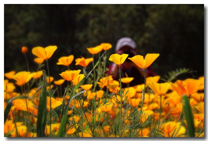 《酒一船摄影》:加州四月野花香_图1-9