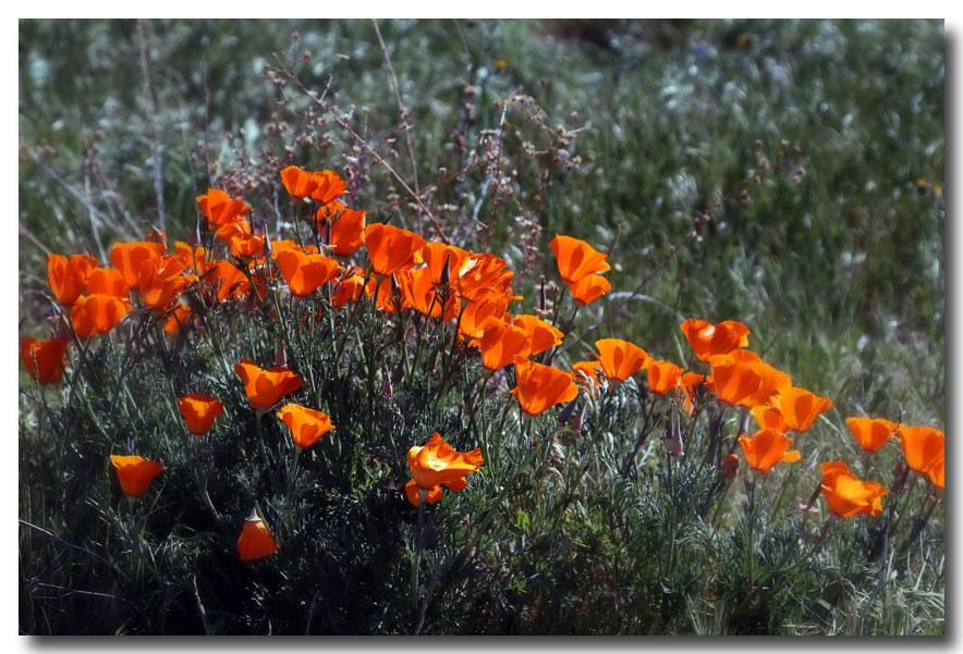 《酒一船摄影》:加州四月野花香_图1-18
