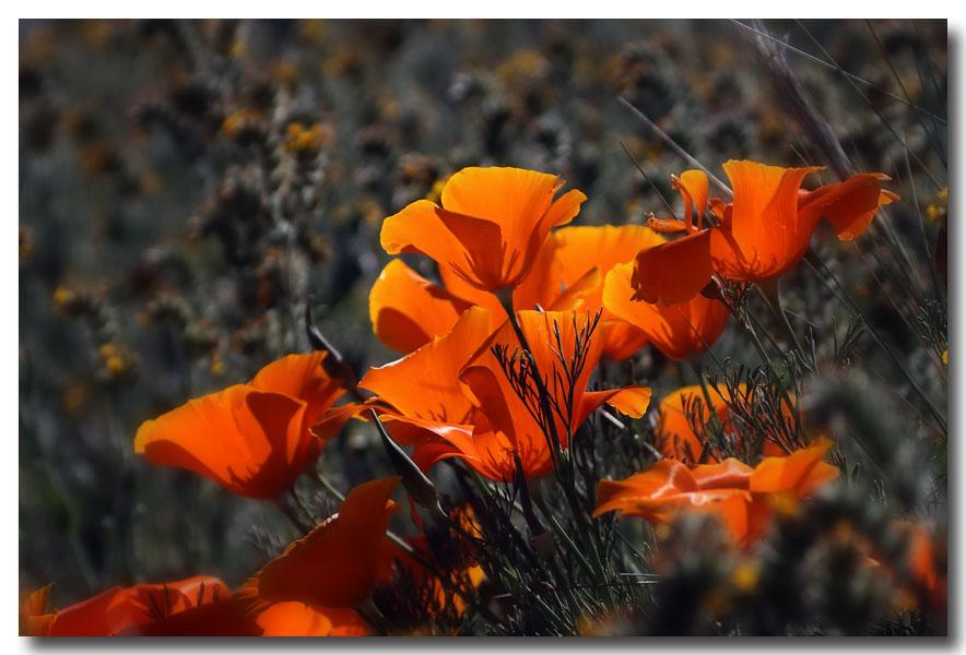 《酒一船摄影》:加州四月野花香_图1-19