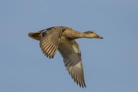 湿地拍的鸭子