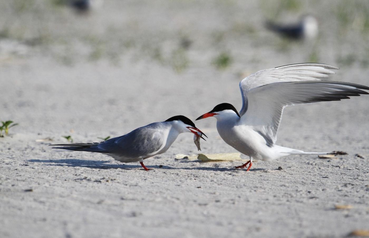 【田螺摄影】nickerson beach拍燕鸥_图1-4