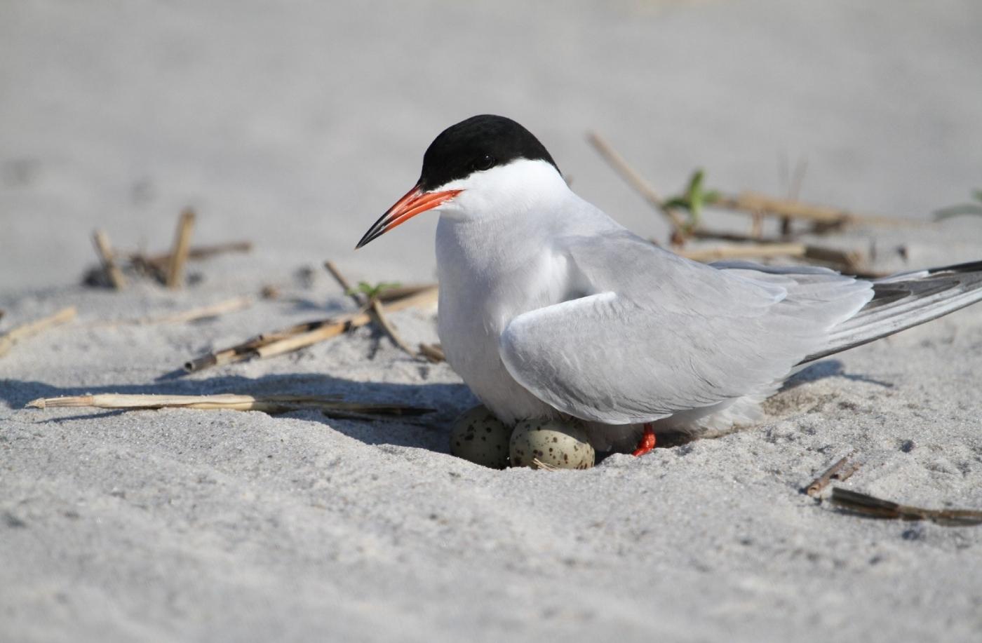 【田螺摄影】nickerson beach拍燕鸥_图1-20