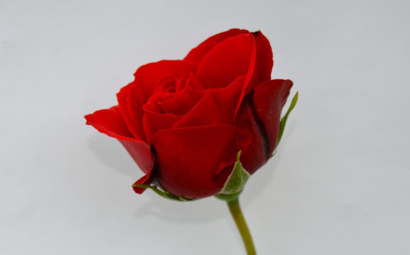 再拍玫瑰_图1-2