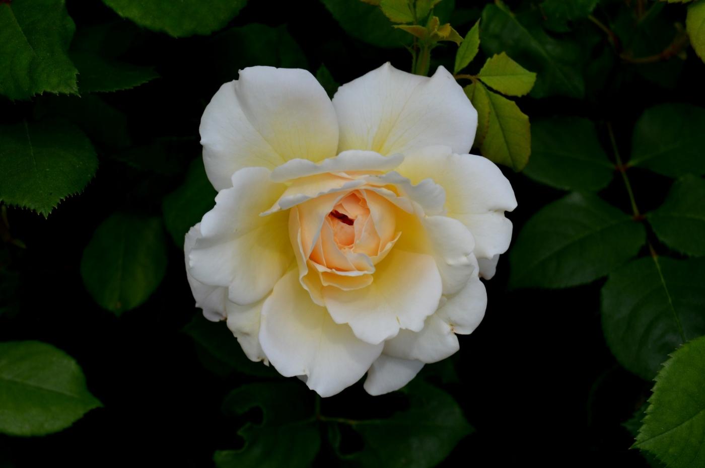 再拍玫瑰_图1-8