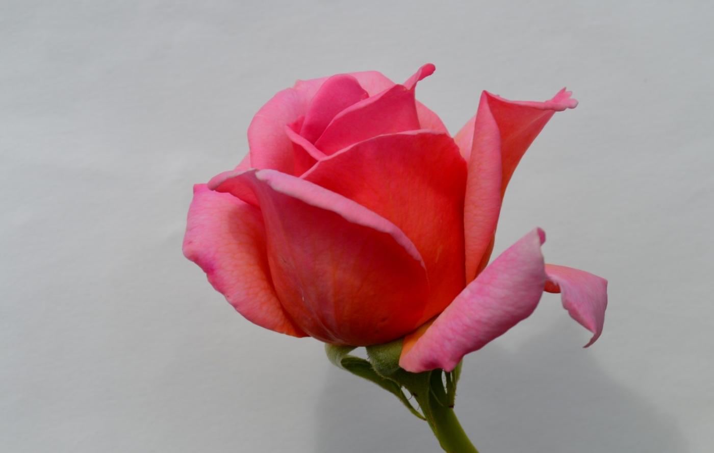 再拍玫瑰_图1-20