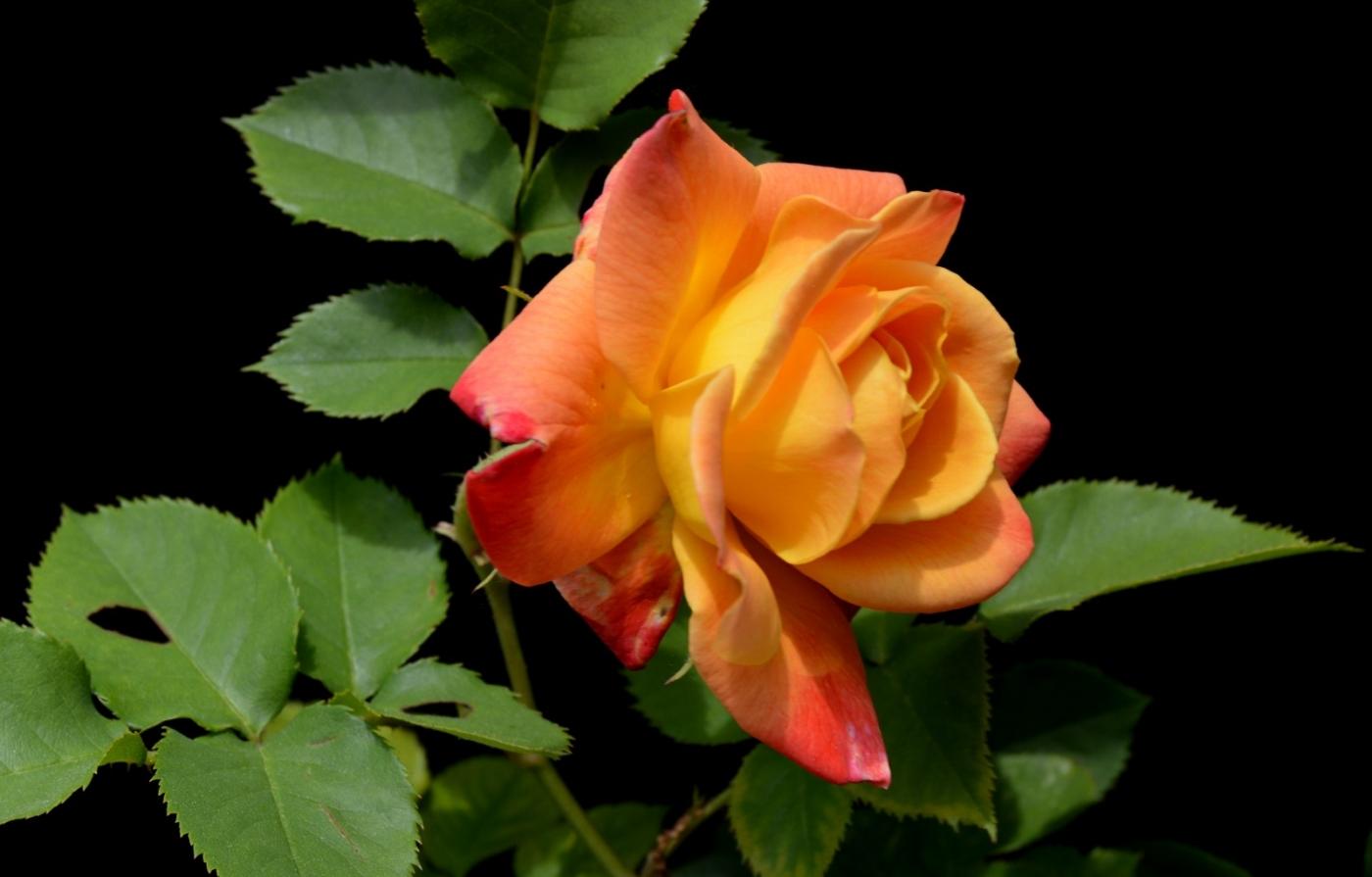 再拍玫瑰_图1-29
