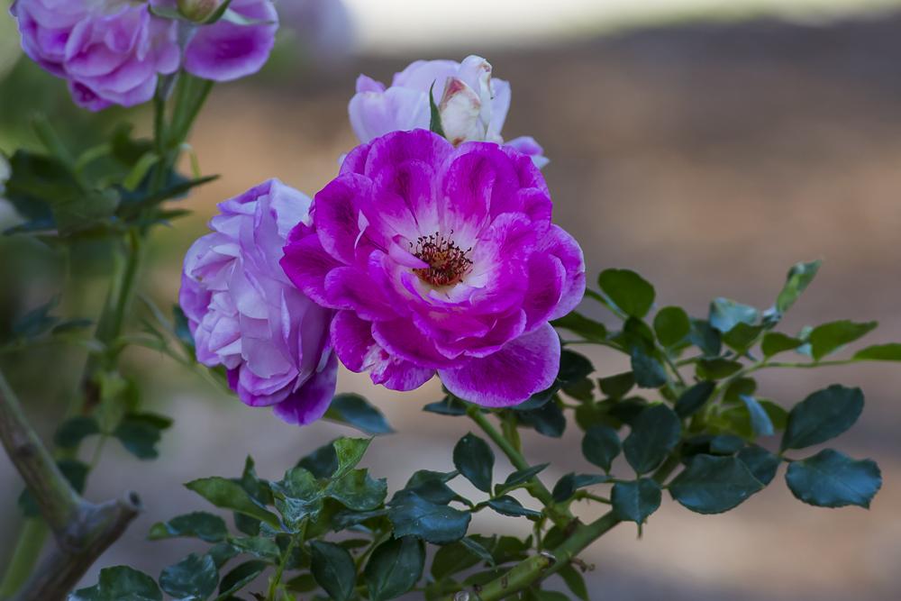 玫瑰中珍贵的品种 Brilliant Pink Iceberg_图1-3