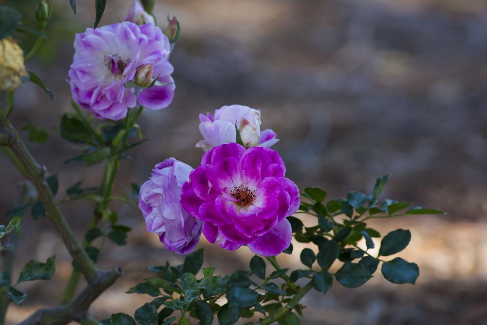 玫瑰中珍贵的品种 Brilliant Pink Iceberg_图1-1