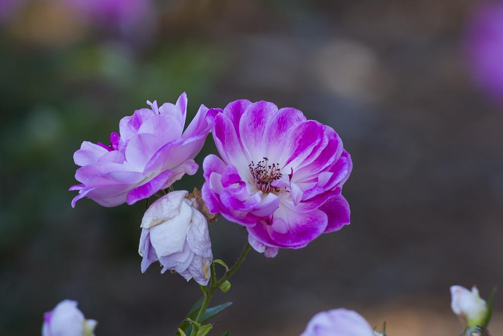 玫瑰中珍贵的品种 Brilliant Pink Iceberg_图1-4