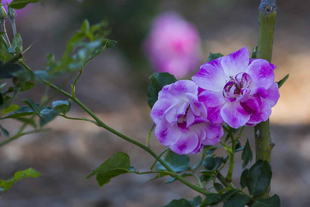 玫瑰中珍贵的品种 Brilliant Pink Iceberg_图1-5