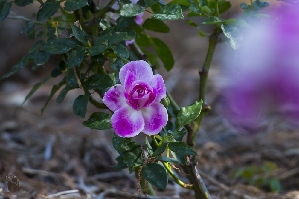 玫瑰中珍贵的品种 Brilliant Pink Iceberg_图1-6