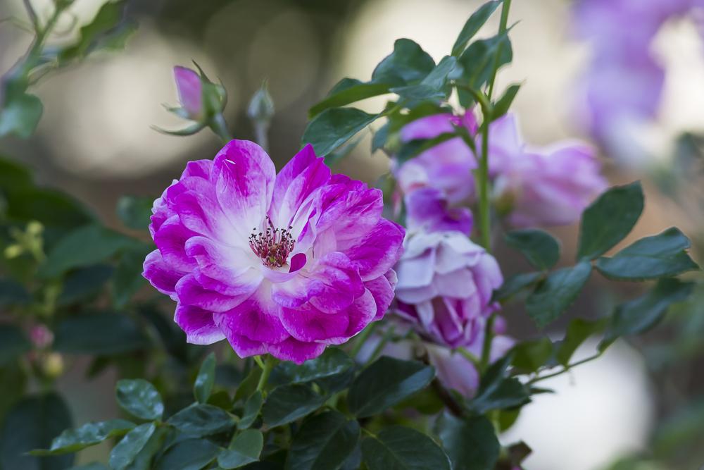 玫瑰中珍贵的品种 Brilliant Pink Iceberg_图1-8