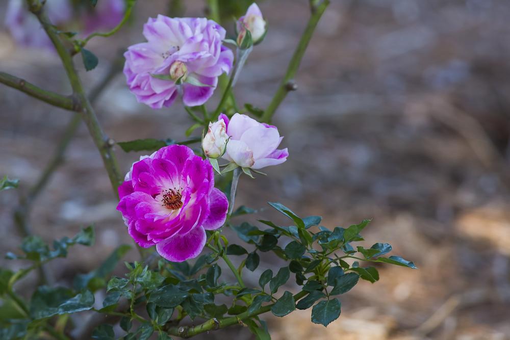 玫瑰中珍贵的品种 Brilliant Pink Iceberg_图1-9