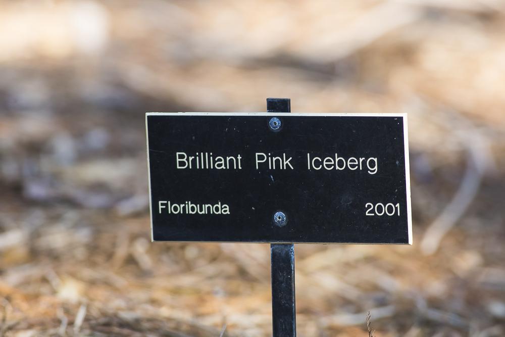 玫瑰中珍贵的品种 Brilliant Pink Iceberg_图1-2