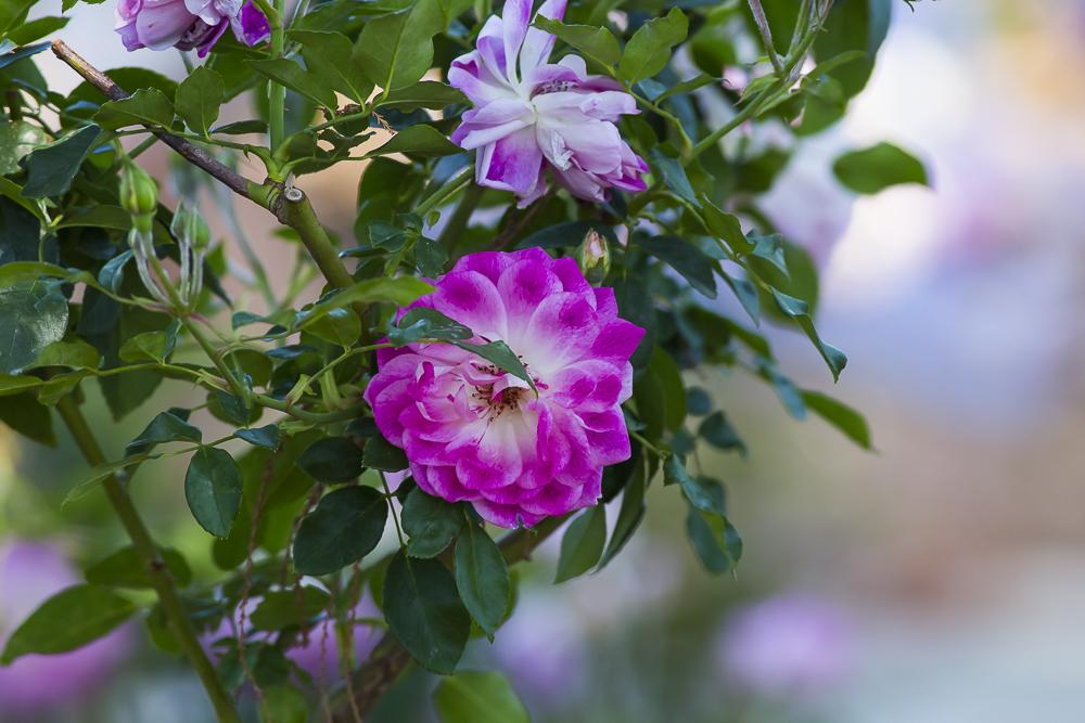 玫瑰中珍贵的品种 Brilliant Pink Iceberg_图1-10