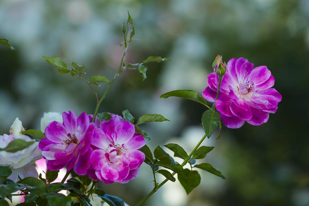 玫瑰中珍贵的品种 Brilliant Pink Iceberg_图1-12