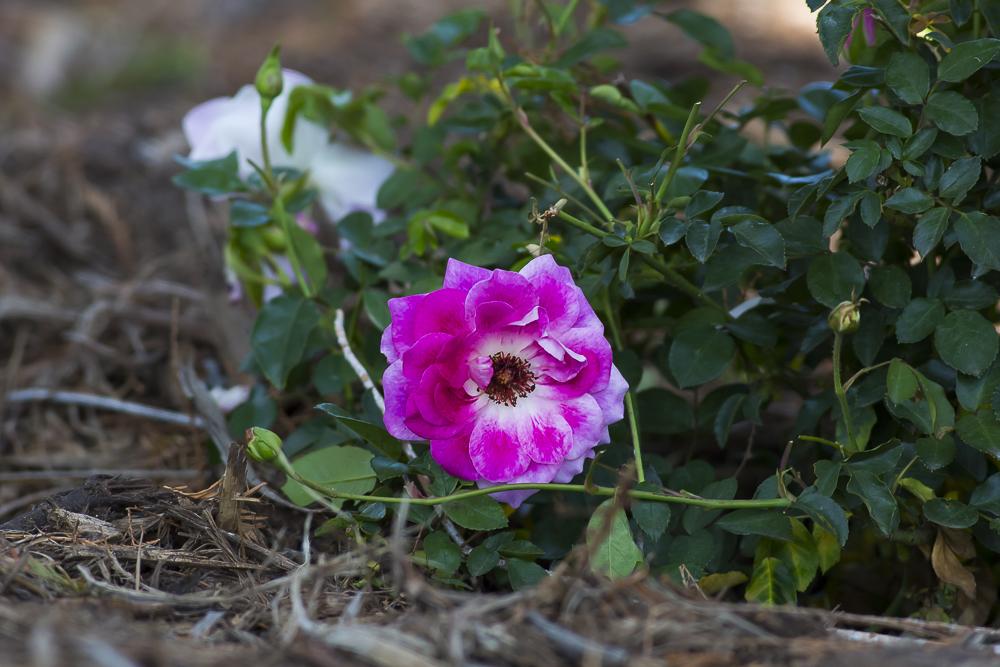 玫瑰中珍贵的品种 Brilliant Pink Iceberg_图1-14
