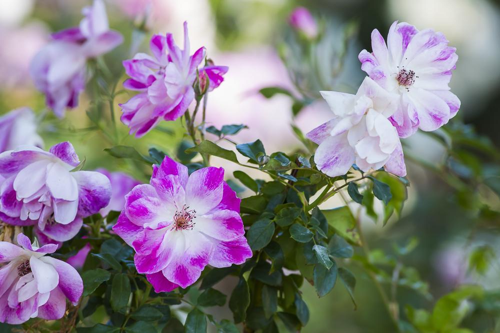 玫瑰中珍贵的品种 Brilliant Pink Iceberg_图1-15