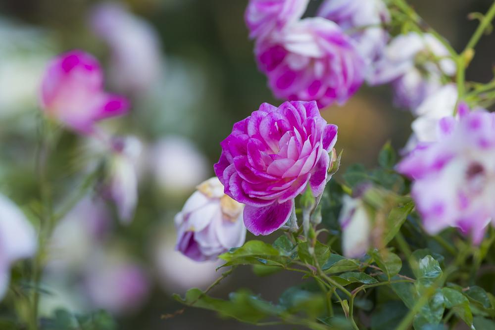 玫瑰中珍贵的品种 Brilliant Pink Iceberg_图1-16