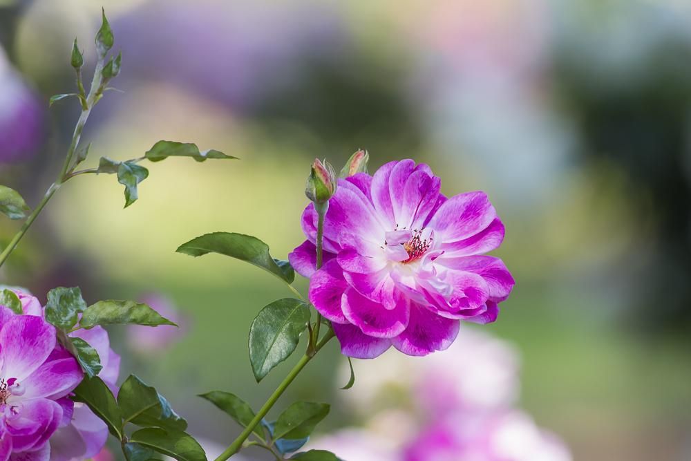 玫瑰中珍贵的品种 Brilliant Pink Iceberg_图1-17