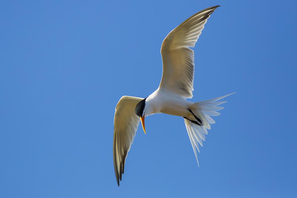 燕鸥_图1-1
