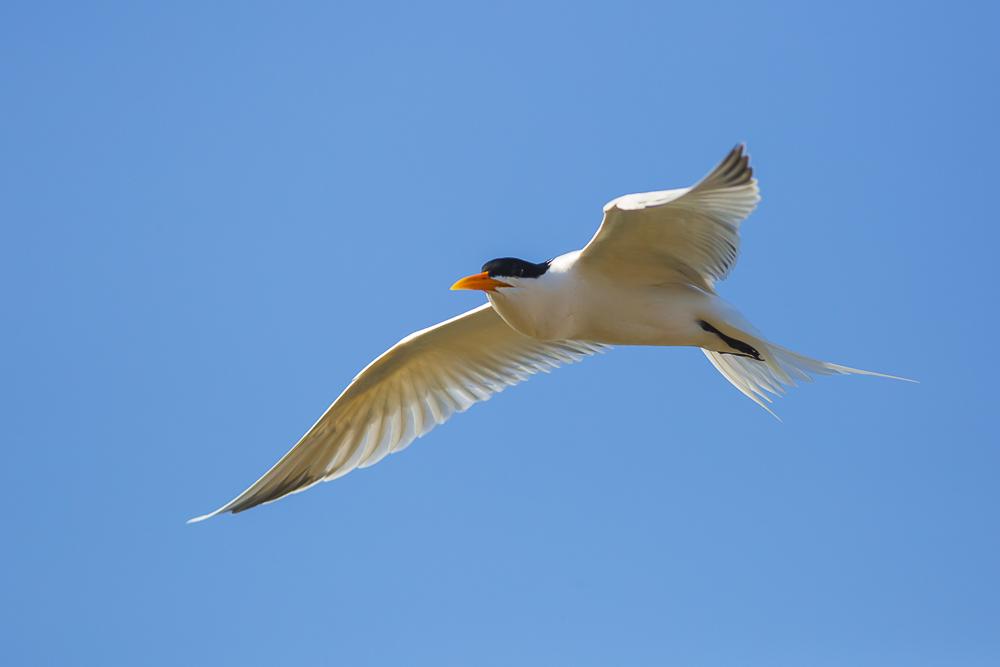燕鸥_图1-2