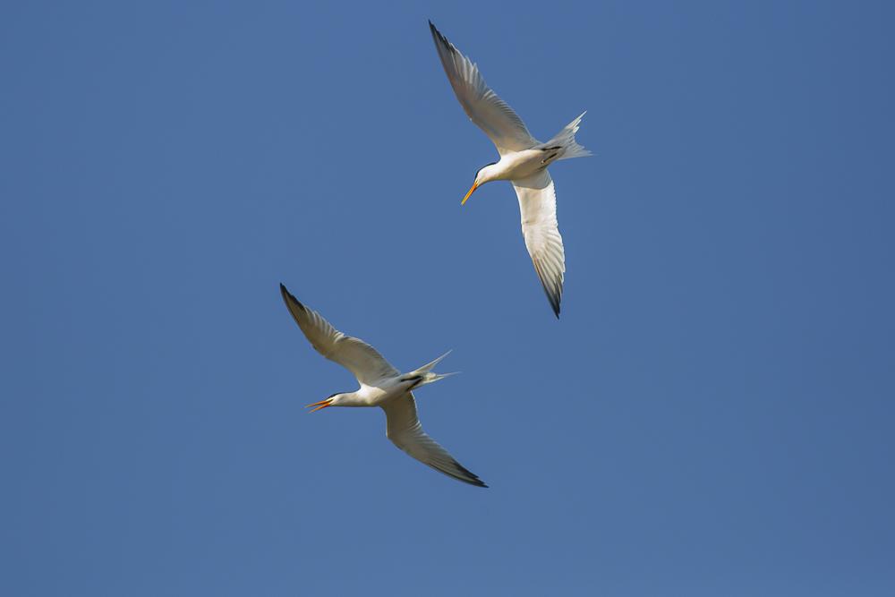 燕鸥_图1-7