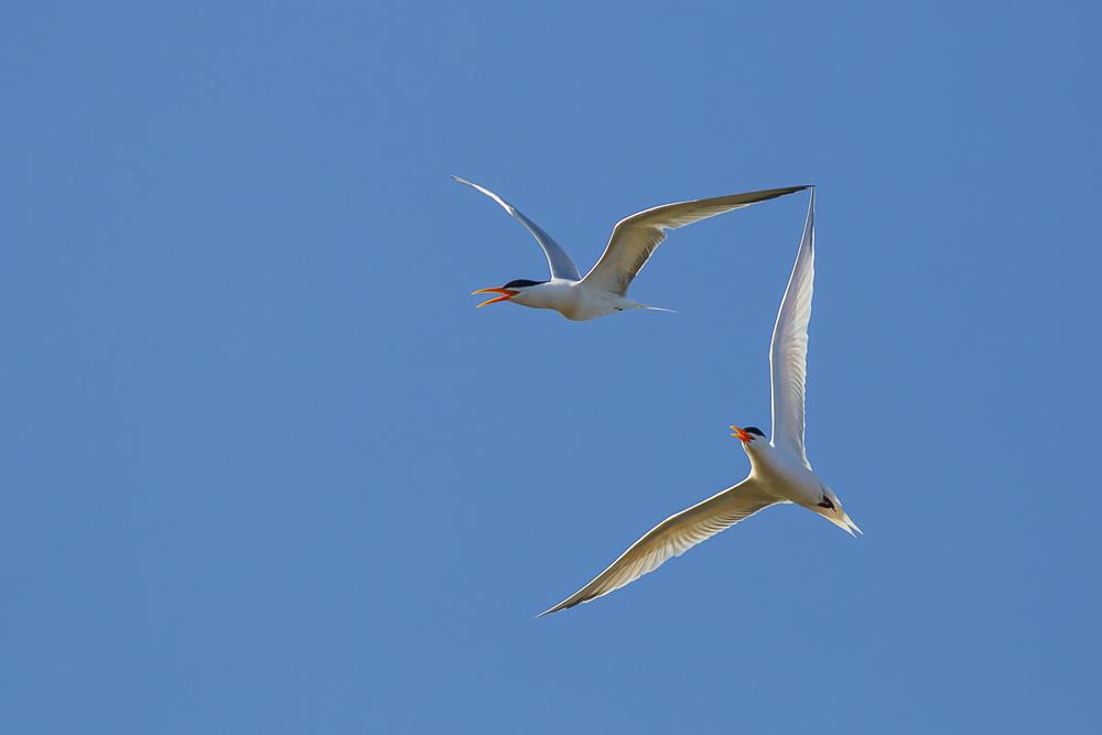 燕鸥_图1-10