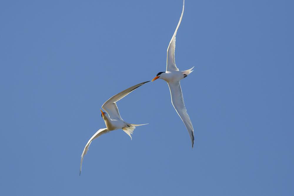 燕鸥_图1-12