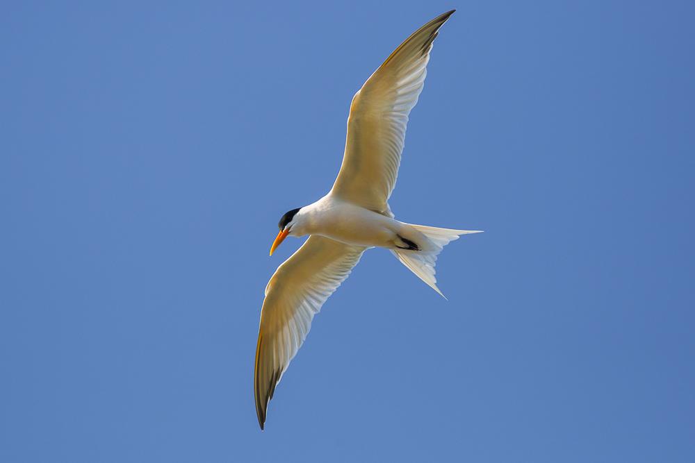燕鸥_图1-13