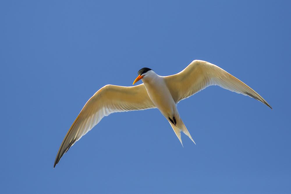 燕鸥_图1-14