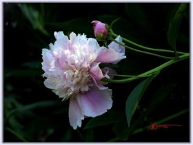 美丽的芍药花