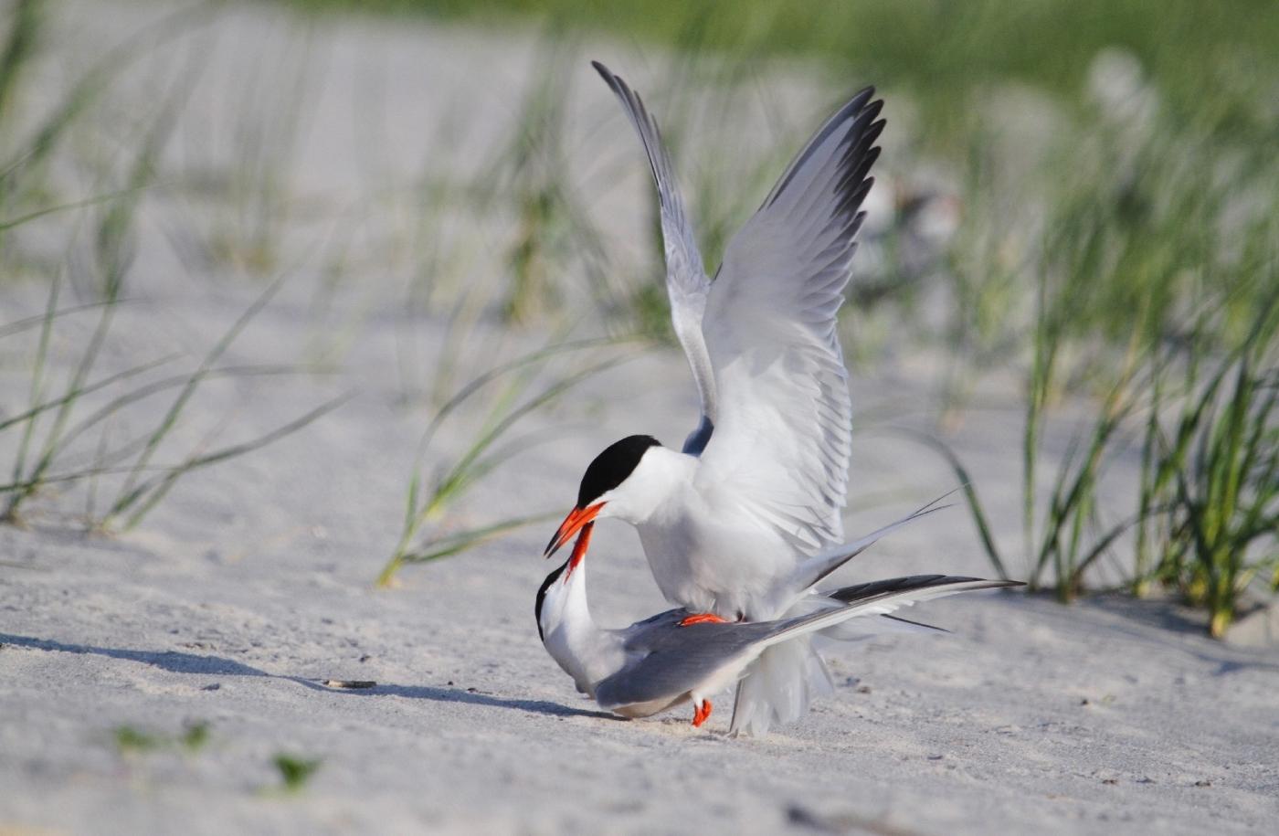 【田螺摄影】nickerson beach拍燕鸥求爱[二]_图1-1