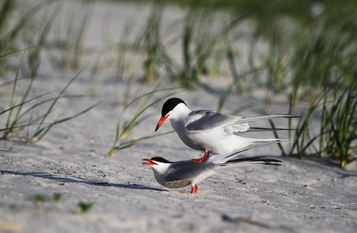 【田螺摄影】nickerson beach拍燕鸥求爱[二]_图1-4