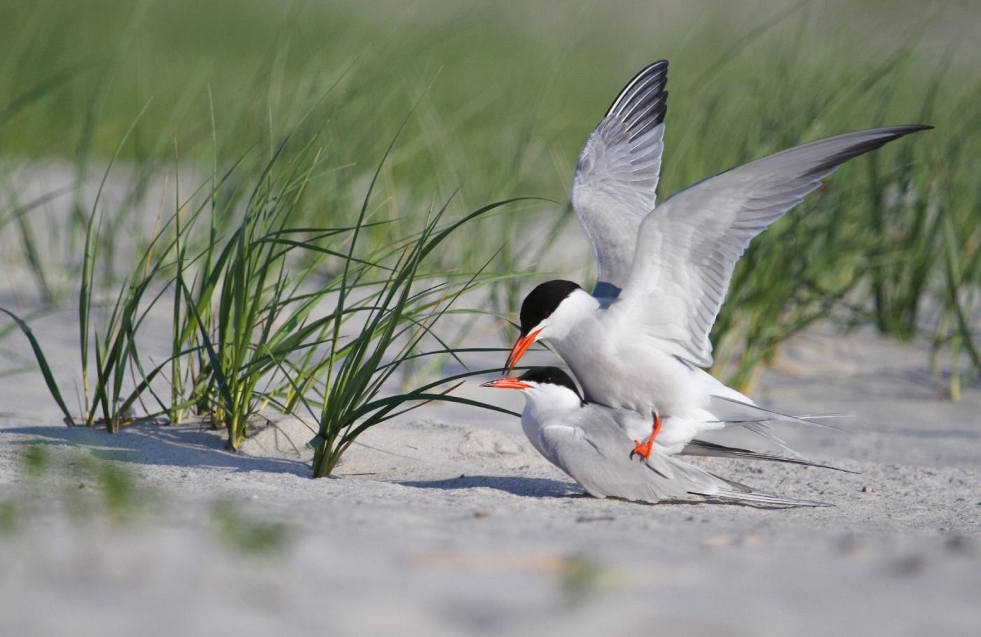【田螺摄影】nickerson beach拍燕鸥求爱[二]_图1-5