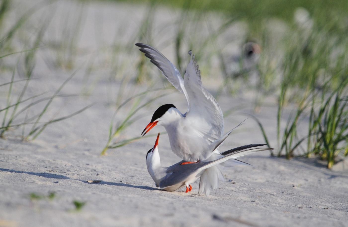 【田螺摄影】nickerson beach拍燕鸥求爱[二]_图1-8