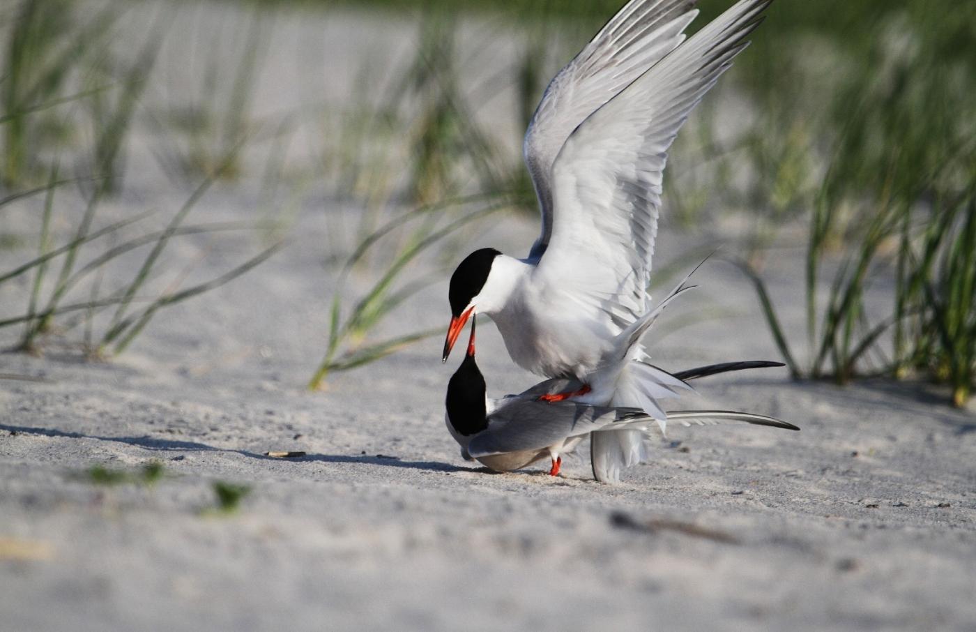 【田螺摄影】nickerson beach拍燕鸥求爱[二]_图1-12