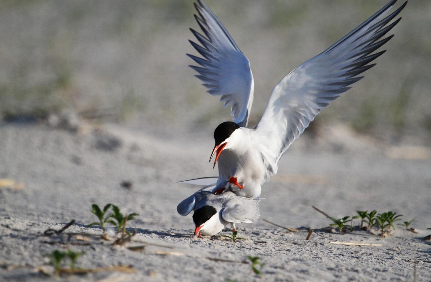 【田螺摄影】nickerson beach拍燕鸥求爱[二]_图1-18