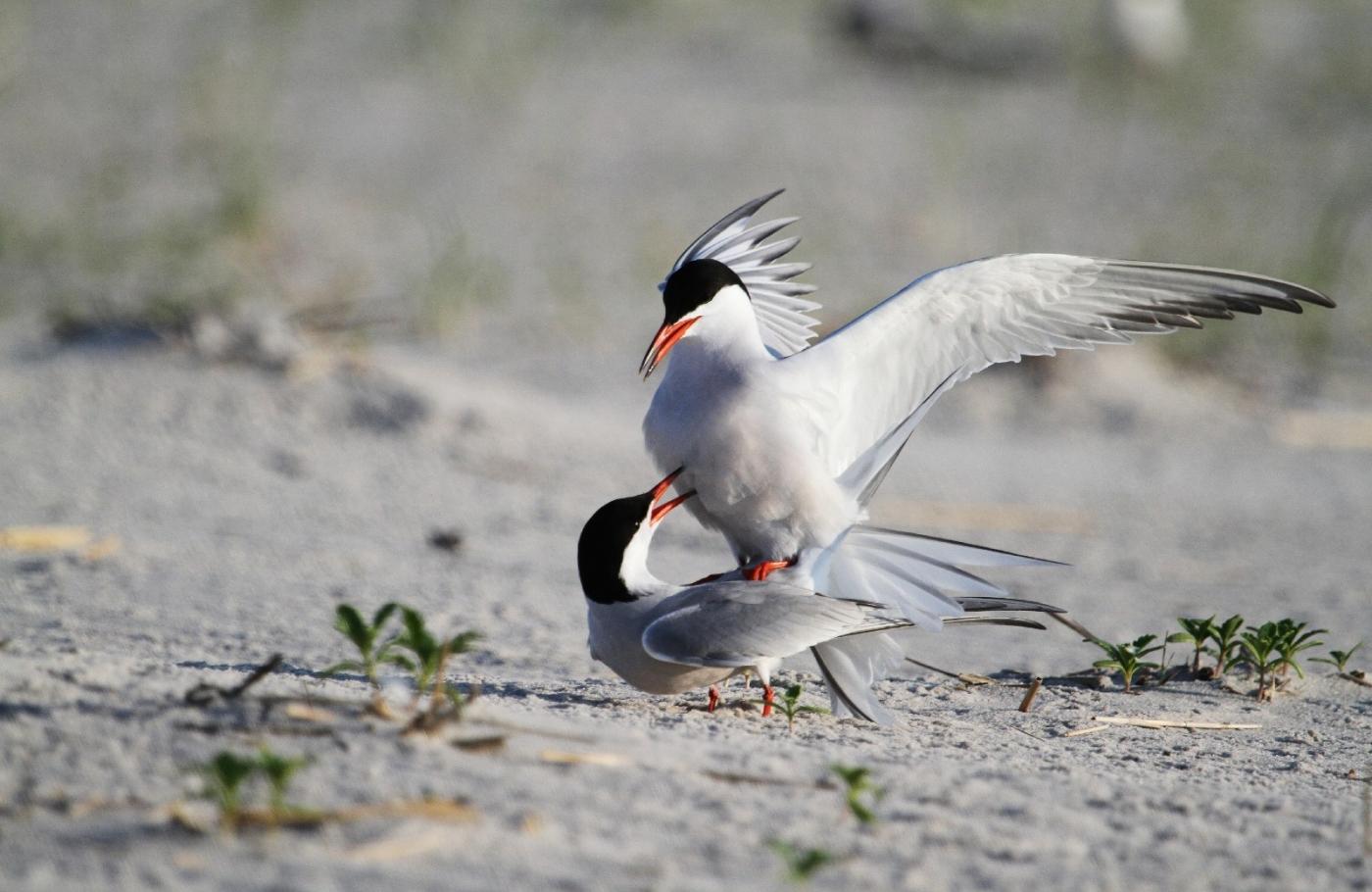 【田螺摄影】nickerson beach拍燕鸥求爱[二]_图1-21