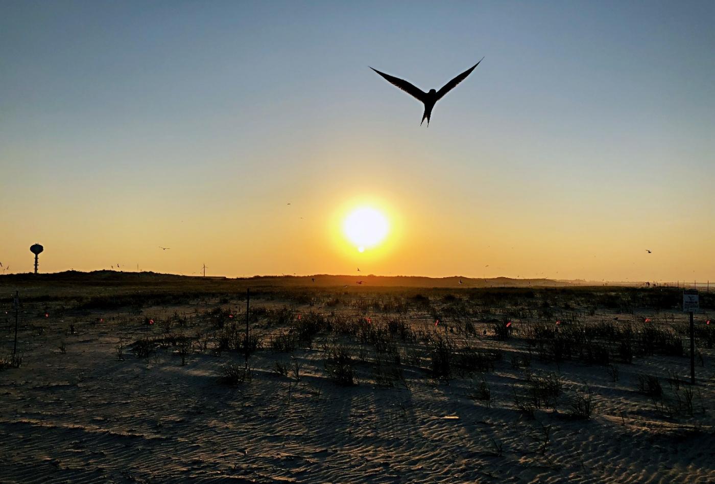 【田螺摄影】nickerson beach拍燕鸥求爱[二]_图1-24
